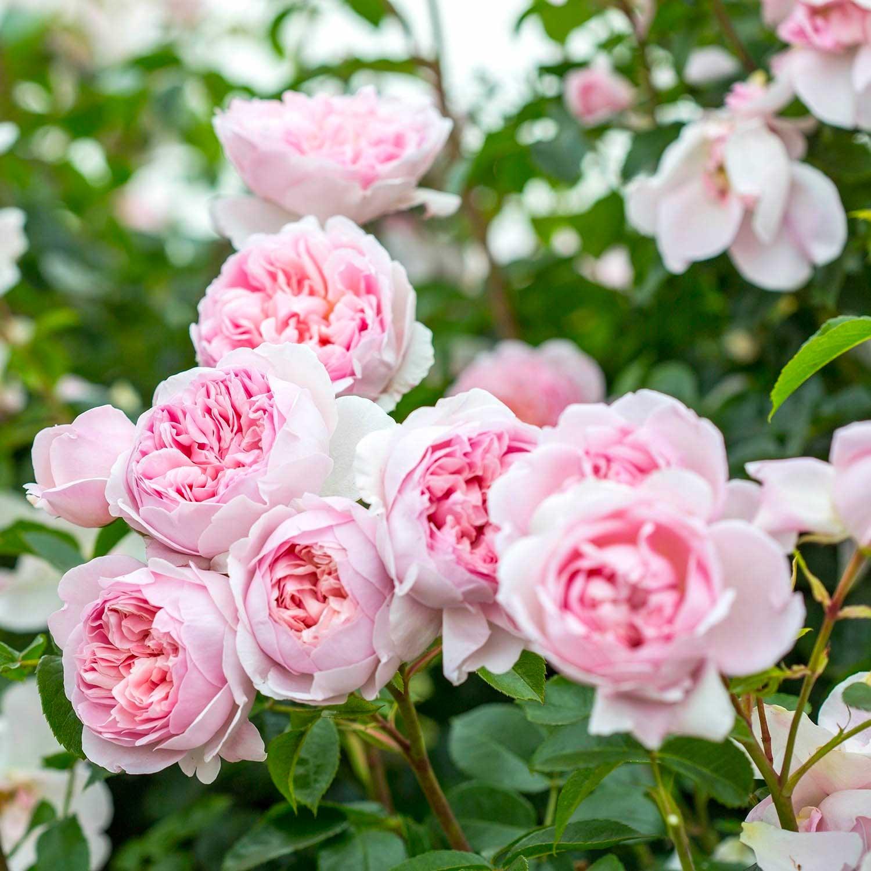 Farm Soap Co. - roses